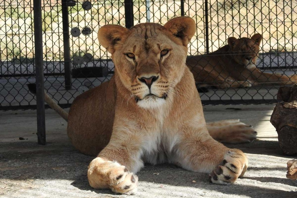 Zita-the-lion-in-WRC-Quarantine-Center